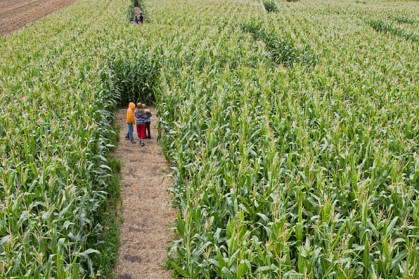 The Singleton Maize Maze